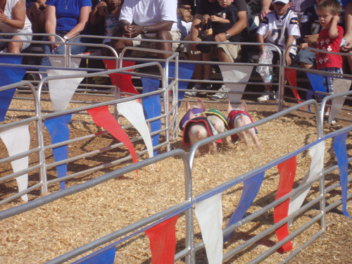 Racing-pigs-2