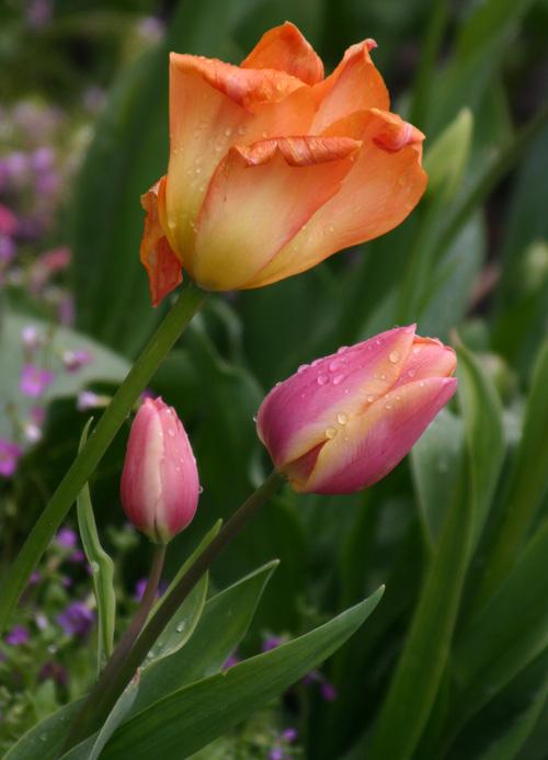 Rain-on-tulips